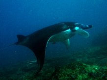 Manta ray in Indonesia